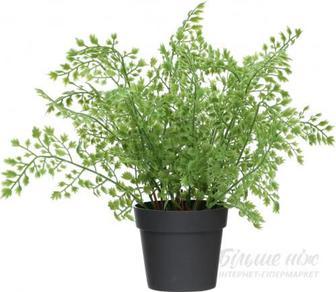 Рослина декоративна Папороть Адіантум (Венерине волосся) PFC(NL)-547A
